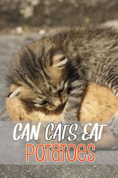 Discover whether can cats eat potatoes and a few important facts about them. A potato is potentially toxic to cats if you. Foods Cats Can Eat, What Cats Can Eat, Can Cats Eat Potatoes, Animal Eating, Cottage Cheese Nutrition, Cat Vs Dog, Animal Nutrition, Pet Nutrition, Munchkin Cat
