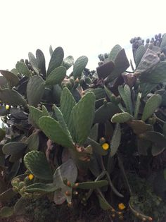 cactus outside the strawberry fields of the farm