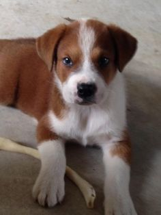 Boxer is an adoptable Saint Bernard St. Bernard searching for a forever family near Houston, TX. Use Petfinder to find adoptable pets in your area.