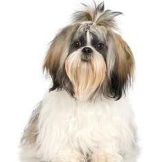 Shih Tzu genes give the shichon its long hair.