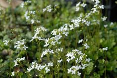 Cardamine trifolia - Wald-Schaumkraut