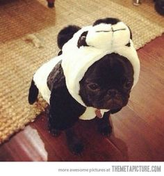Pug Panda-this is so effing cute, I think my head might actually explode.