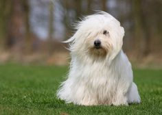 No. 11: Coton de Tulear | Vetstreet.com: The 20 Hottest Dog Breeds | Comcast.net