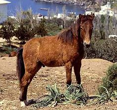 The Skyros Pony is a variety of the Greek Pony found throughout Greece. It is a light riding and draft pony found most usually in white, dun, bay or gray. The breed is nearly extinct Pony Breeds, Horse Breeds, Pony Horse, New Forest, Urban Farming, Wild Horses, Greek Islands, Horseback Riding, Livestock