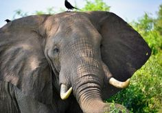 Pachyderm Puns! What do you do with a green elephant? Wait till it ripens! - See more at: http://mirthinablog.com/2015/05/25/pachyderm-puns/#sthash.xh1DOct8.dpuf #Elephants #jokes