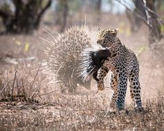Thrilling wildlife sightings to inspire a trip in 2019 - Wild Card Wild Park, In 2019, Leopards, Impala, Big Cats, Wildlife, African, Pumping, Cards