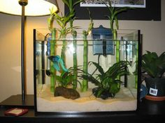 Betta Fish Tanks With Plants - ornamental ponds, gardens, fountains and other water feature landscape designs. Indoor Bamboo Plant, Bamboo Plants, Betta Aquarium, Betta Tank, Nano Cube, Cool Fish Tanks, Betta Fish Care, Aquatic Turtles, Siamese Fighting Fish