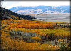 Colorado Aspen Gold 4 by Diane M  Dittus