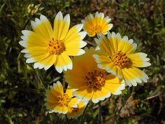 yellow wild flowers | Yellow Wildflower