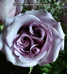 The Rare Rose With 3 Spirals.... Beautiful