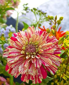 zinnia..so vibrant. love the flowers, but I've had no luck with zinnias