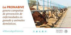 La PRONABIVE genera campañas de prevención de enfermedades en ganado y animales domésticos. SAGARPA SAGARPAMX #MéxicoAgroPotencia