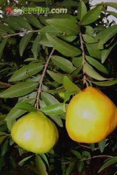 Eugenia pyriformis / uvaia