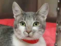 Adopt a Domestic Short Hair - gray / Tiger Cat named Renee from Olean, NY 14760