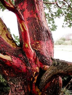 "Arbutus tree knot. ""Beacon Hill Park, Victoria, BC"" #explorebc"