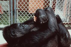 famous 'Koko' and pet, San Francisco: Am 4. Juli 1972 wurde das Gorillaweibchen Koko im Zoo von San Francisco geboren. Mit Hilfe der Forscherin Francine Patterson stellte sich bald ihr besonderes Talent heraus: Sie erlernte ab ihrem ersten Lebensjahr in jahrelangem Training über tausend Zeichen der amerikanischen Zeichensprache - und lernte, rund 2000 verschiedene gesprochene englische Worte zu verstehen.