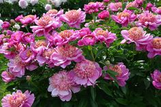Container Gardening For Beginners Spectacular pink peonies garden - Incredible list of the many different types of peonies flowers. Includes all colors, bloom types and many varieties. This is a terrific checklist peonies guide. Flower Pots, Peony Flower, Flower Garden, Planter Arrangements, Hydrangea Potted, Peonies And Hydrangeas, Artificial Flowers, Peonies Garden, Types Of Flowers
