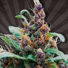 Beautiful Cannabis Flowers   Purple Cheese http://www.cannabis-seeds.co.uk/autoseeds/purple-cheese.html
