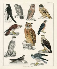 Owl, Oken Antique Prints -=- Including Other Animals :: Shell Prints, Fish Prints, Coral Prints, Jellyfish Prints, 1833-1841 ❤