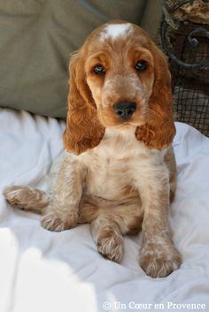 English Cocker Spaniel Puppy ~ is an active good natured sporting dog and a happy disposition.