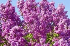 Oh, the fragrance of lilacs in May!