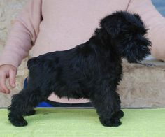 Vincent. Black miniature schnauzer, 63 days old