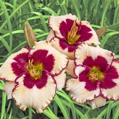 Lovely inch white flowers with large red eyes and matching edges bloom in midsummer, then return to bloom from late summer to early fall. Summer Bulbs, Spring Bulbs, Spring Blooms, Perennial Bulbs, Shade Perennials, Fall Plants, Garden Plants, Flower Gardening, Beautiful Gardens