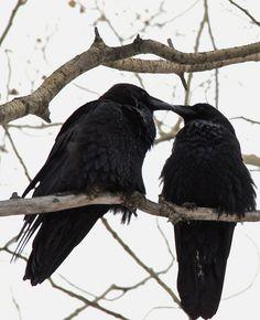 kiss, raven, crow