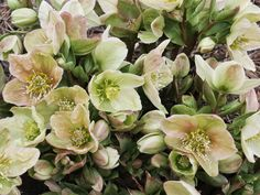 Also known as  'Winter's Bliss Hybrid Christmas Rose,'  this hellebore starts putting out pink buds in February. When open, the creamy-white flowers reveal pink backs.