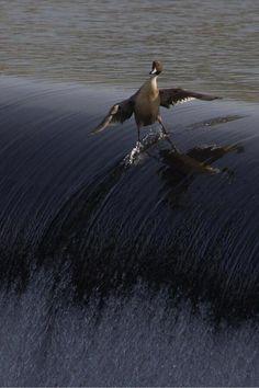 Pato surfero.