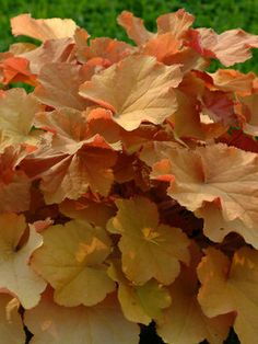 Heuchera 'Caramel', Coral Bell, Alum Root. Zones 4-9. Sun to Mostly Shade. short growing perennials for major foliage interest, also shoot out airy stems of small tubular flowers.