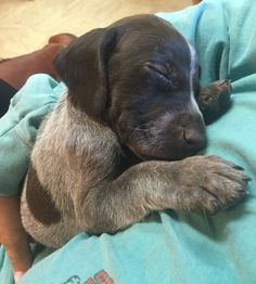 German Shorthaired Pointer. 4 weeks old. Strong Point Kennels.