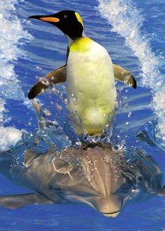 Penguin on a dolphin
