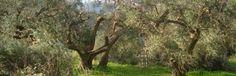 Olivenöl 2015