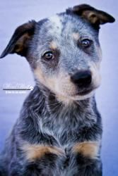 Sitsi is an adoptable Australian Cattle Dog (Blue Heeler) Dog in Scottsdale, AZ. coming soon........