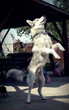 Husky *.*