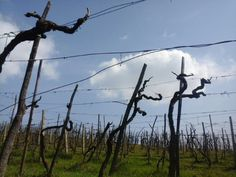 spring coming in our wineyards