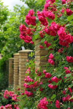 Особое восхищение у садоводов всегда вызывала плетистая роза с ее длинными ветвями, усыпанными роскошными цветками