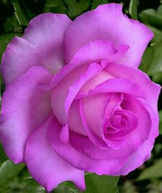Beautiful Rose Flowers, Beautiful Flowers Wallpapers, Pretty Roses, Pretty Flowers, Purple Roses, Pink Flowers, Foto Rose, Rose Violette, Wars Of The Roses