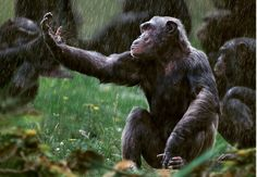 Photograph of Chimpanzee with his hand out in the rain, Monkey World ape rescue centre, UK - License this photo from Steve Bloom Images Primates, Mammals, Steve Bloom, Types Of Monkeys, Monkey World, Ape Monkey, African Animals, Orangutan, Photos