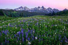 Tatoosh Range and Mount Rainier Wildflowers   Wildflowers No…   Flickr