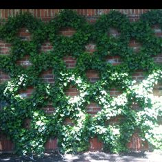 Belgian fence Espalier - there is the same espalier design at the entrance of Disneyland under the train bridge.