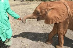 Lima Lima at the daily mudbath, staying close with a keeper for reassurance. #elephants