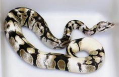 Pastel sugar ball python
