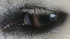 Siun Samojeed eye