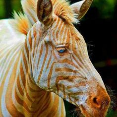 A zebra named Zoe was born in Hawaii in 1998 who actually has golden stripes and blue eyes.