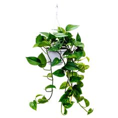 Epipremoum złociste Epipremnum aureum - Golden Pothos - Purify Your Air - Hortology Ivy Plants, Small Plants, Potted Plants, Plante Zz, Pathos Plant, Epipremnum Pinnatum, Yucca, Kitchen Plants, String Garden