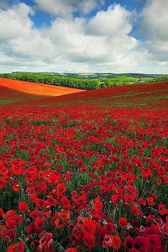 Poppy Field in England                                                       …