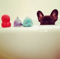 We bet our toys can match the strength of these tub toys! Our toys float too! #cute #french #dog #frenchbulldog #frenchie #puppy