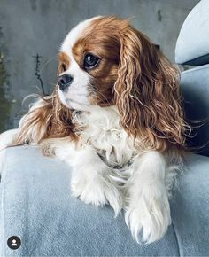 King Charles Puppy, Cavalier King Charles Dog, Cute Baby Dogs, Cute Baby Animals, Cavalier King Spaniel, Cute Dog Pictures, Spaniel Puppies, Beautiful Dogs, Doggies